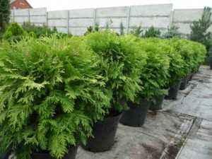 Продажа декоративных растений